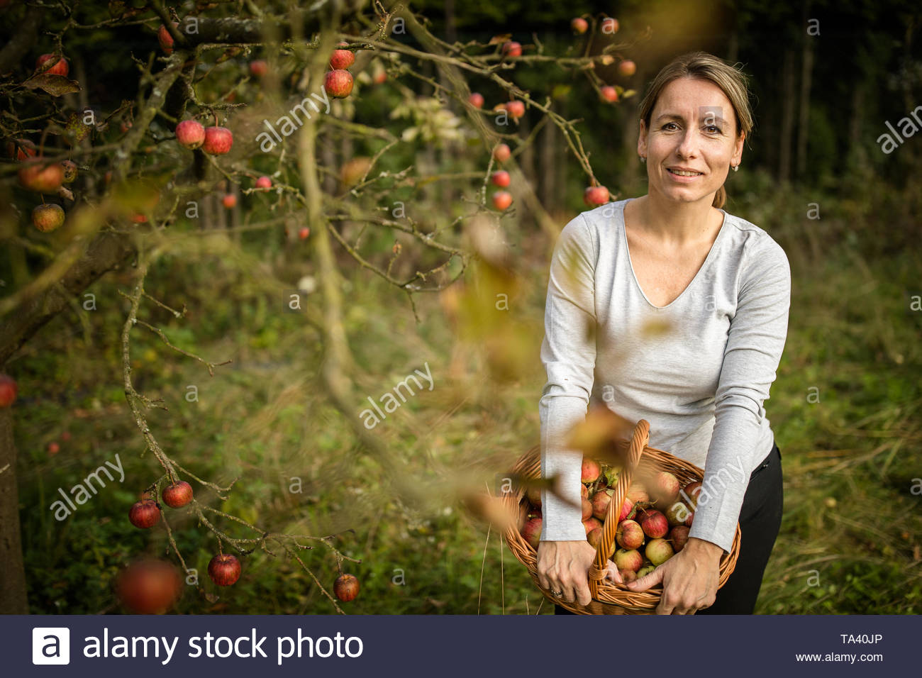 Middle aged woman picking apples in her orchard - soon there will be a lovely smell of apple pie in her kitchen (color toned image) - Stock Image
