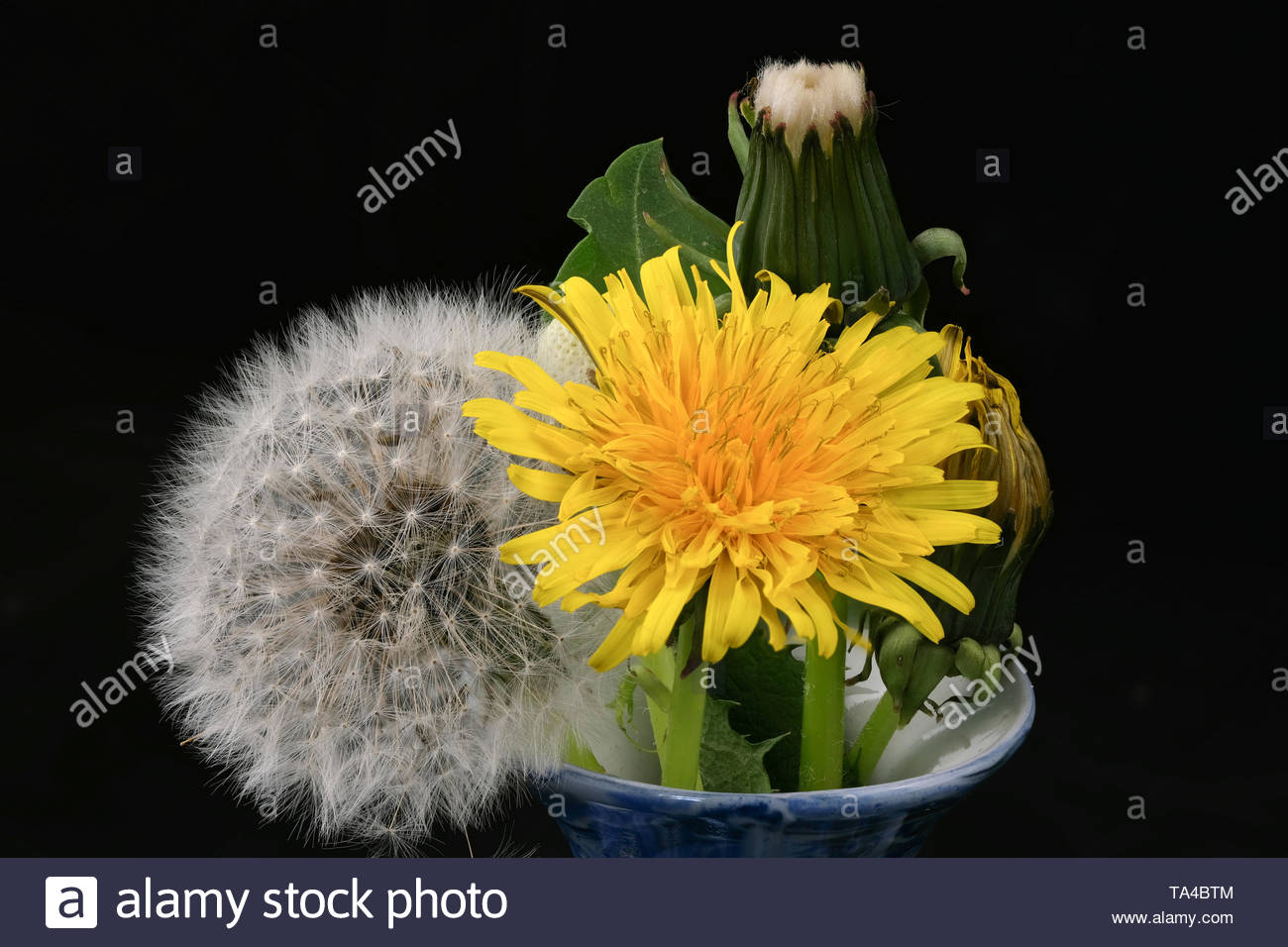 Lyrical flower arrangement with dandelion flowers in different stages of genesis on a black background macro photography Stock Photo