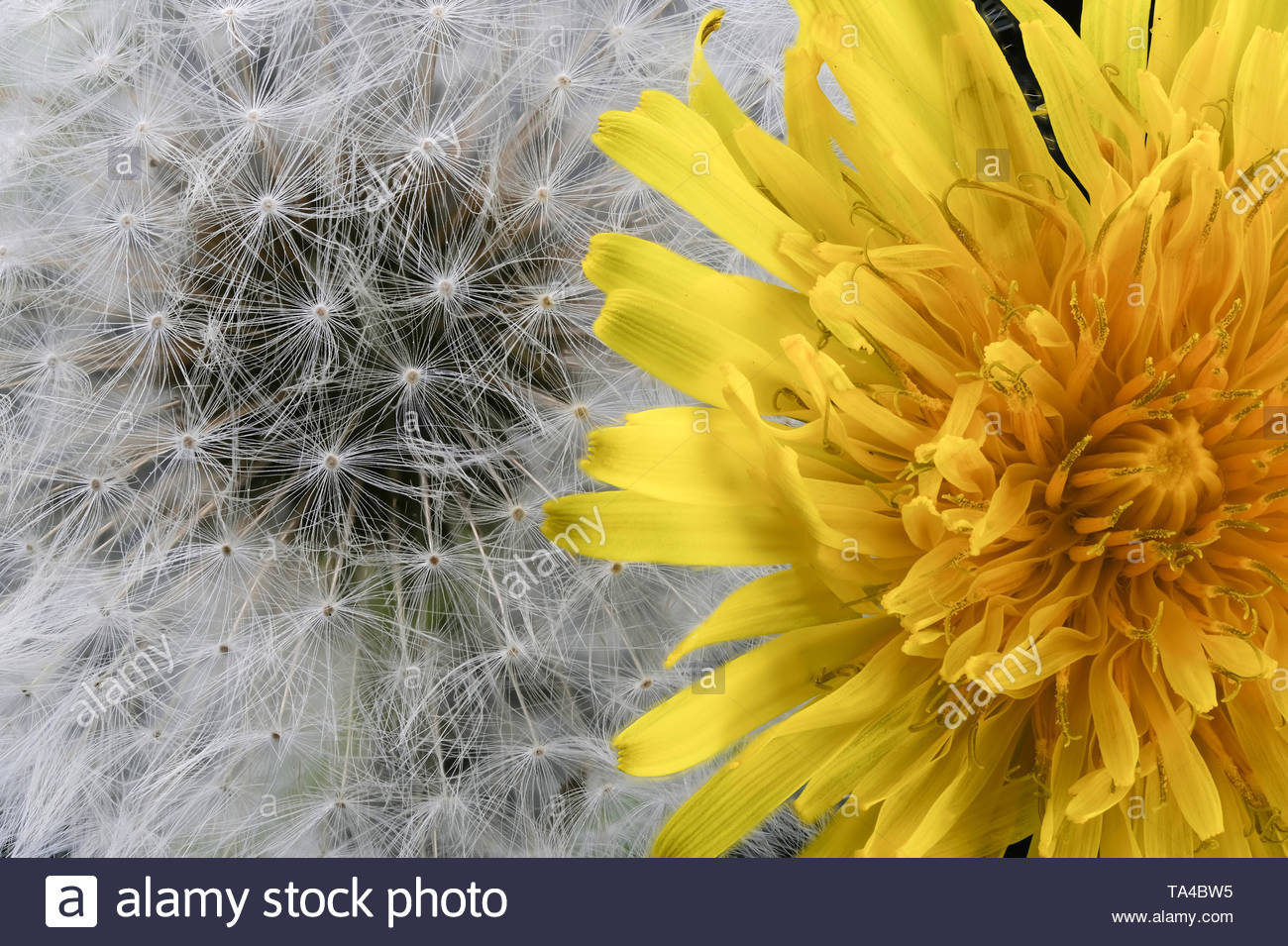 Lyrical flower arrangement with dandelion flowers in different stages of genesis on a black background macro photography - Stock Image