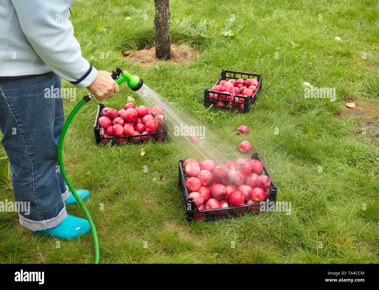 The farmer washes from the sprayer a harvest of red ripe apples collected in plastic baskets and lying in a dense green grass - Stock Image