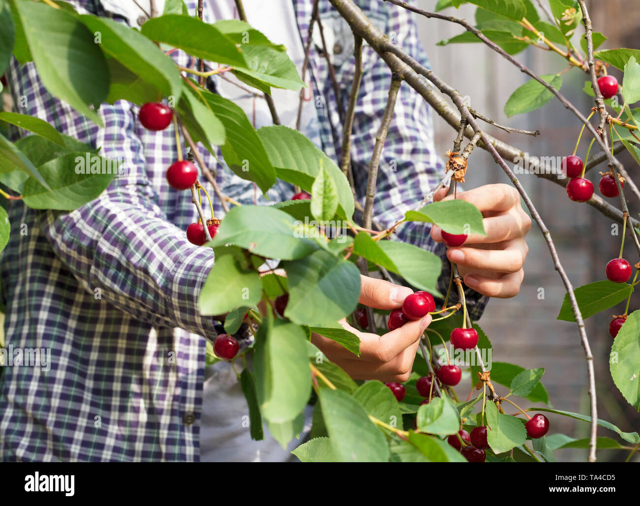 A young farmer is harvesting a harvest of red ripe cherries in the summer garden. Close-up view. - Stock Image