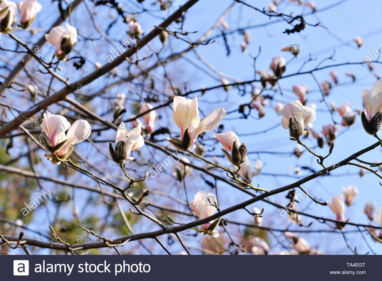 Magnolia blooms on a bright spring day in the botanical garden, flower buds - Stock Image