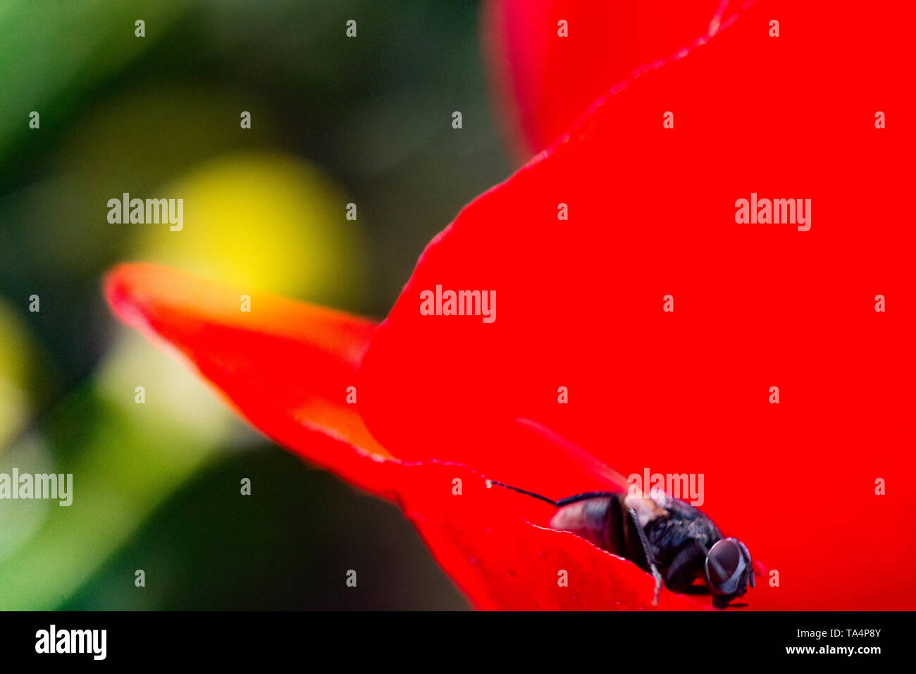 a fly walking to a red poppy flower like a fugitive - Stock Image