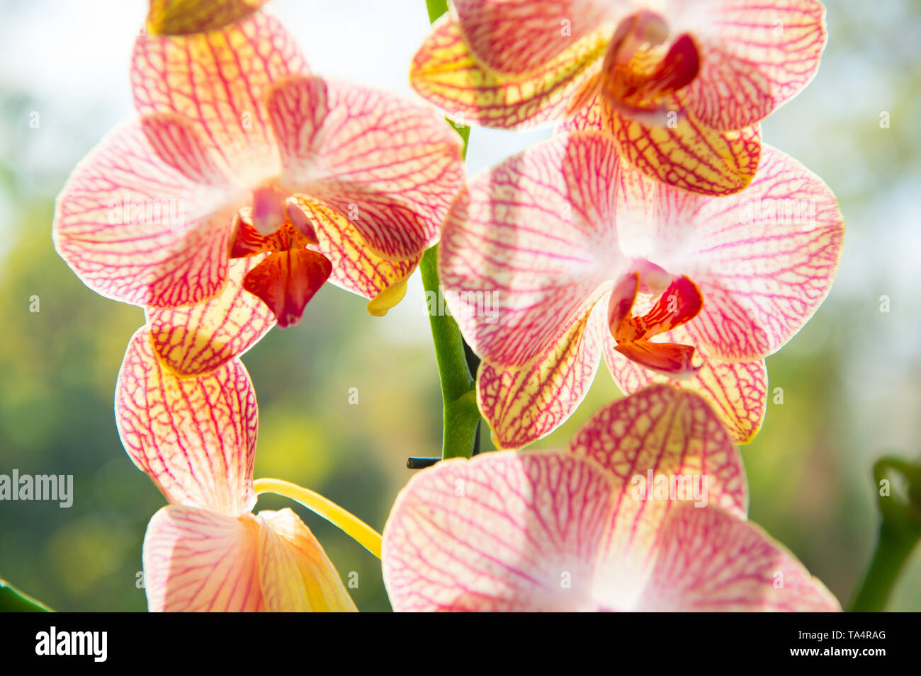 Orchids gorgeous blossom close up. Orchid flower pink and yellow bloom. Phalaenopsis orchid. Botany concept. Orchid growing tips. How take care orchid plants indoors. Most commonly grown house plants. - Stock Image