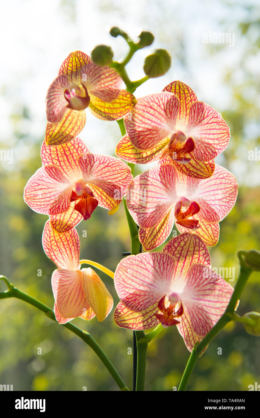 Floral concept. Orchid growing tips. How take care of orchid plants indoors. Most commonly grown house plants. Orchids blossom close up. Orchid flower pink and yellow bloom. Phalaenopsis orchid. - Stock Image