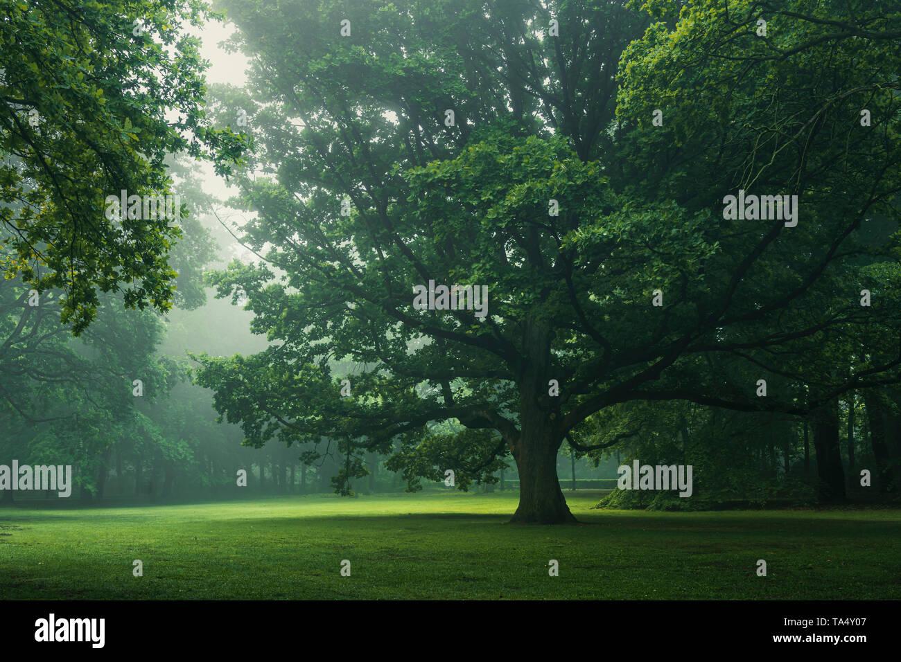 Monumantal tree in the Tiergarten, Berlin largest inner city park, engulfed in morning fog. Stock Photo
