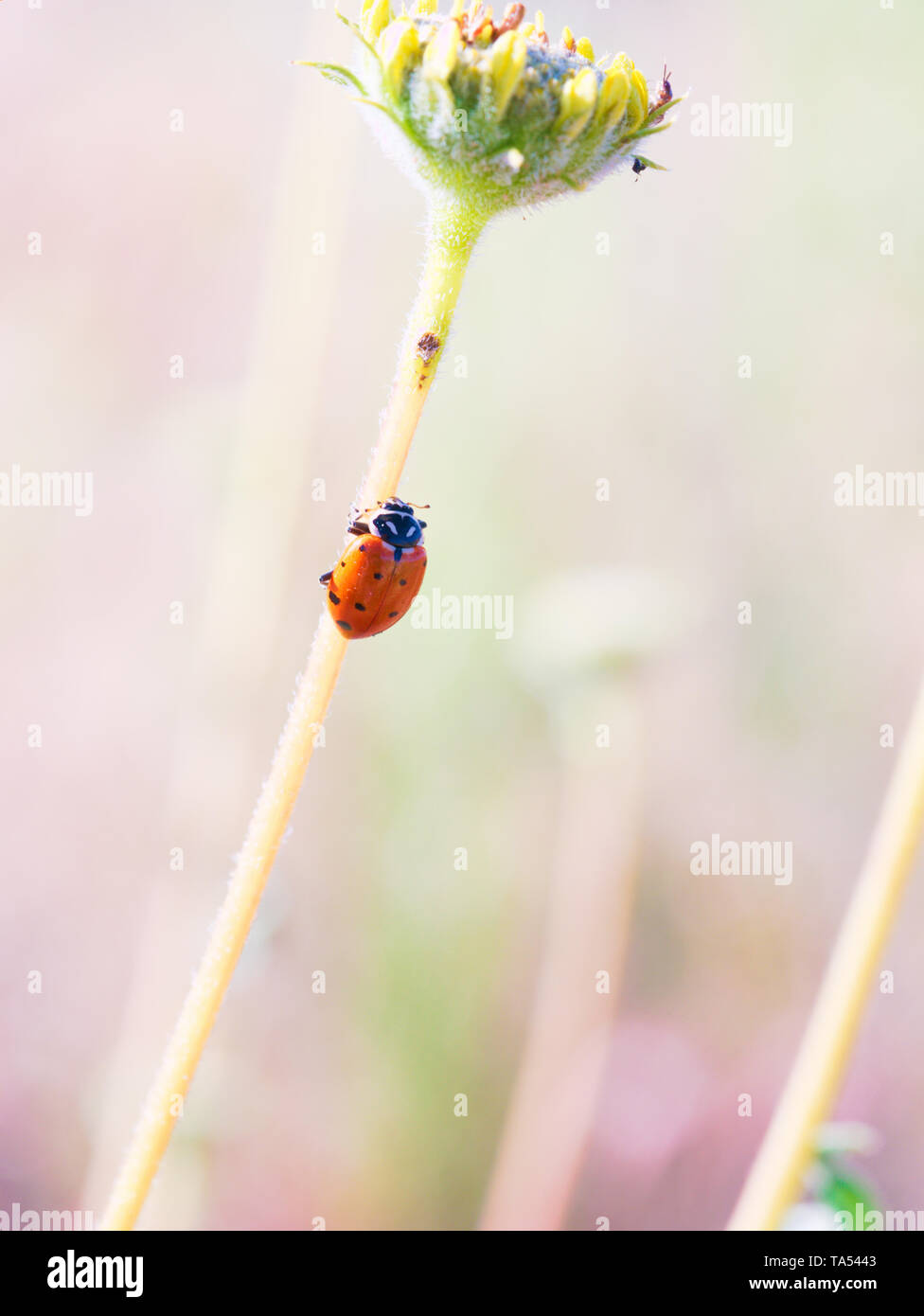 Lady bug crawling up the stem of a desert wild flower in Red Rock Canyon near Las Vegas, Nevada, USA Stock Photo