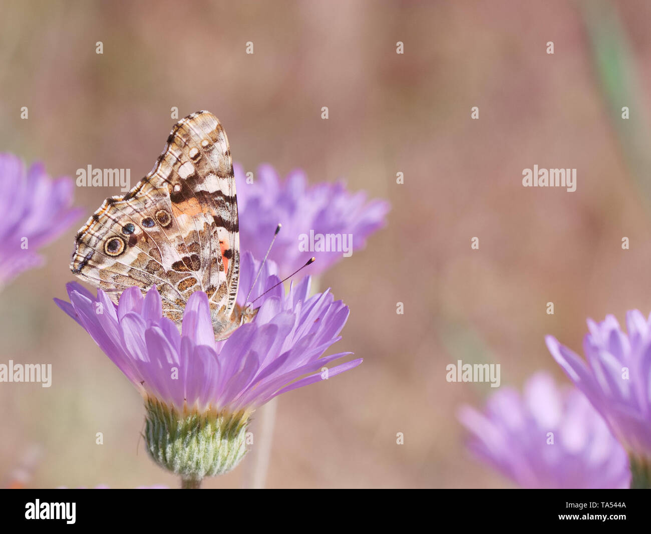Painted lady butterfly, Vanessa cardui, perched on lavender Mojave Aster flower Stock Photo