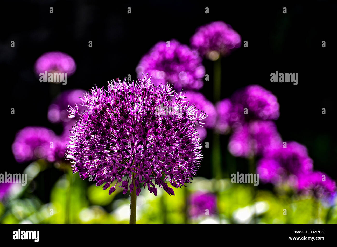Allium flowers, cultivated, ornamental onion Stock Photo