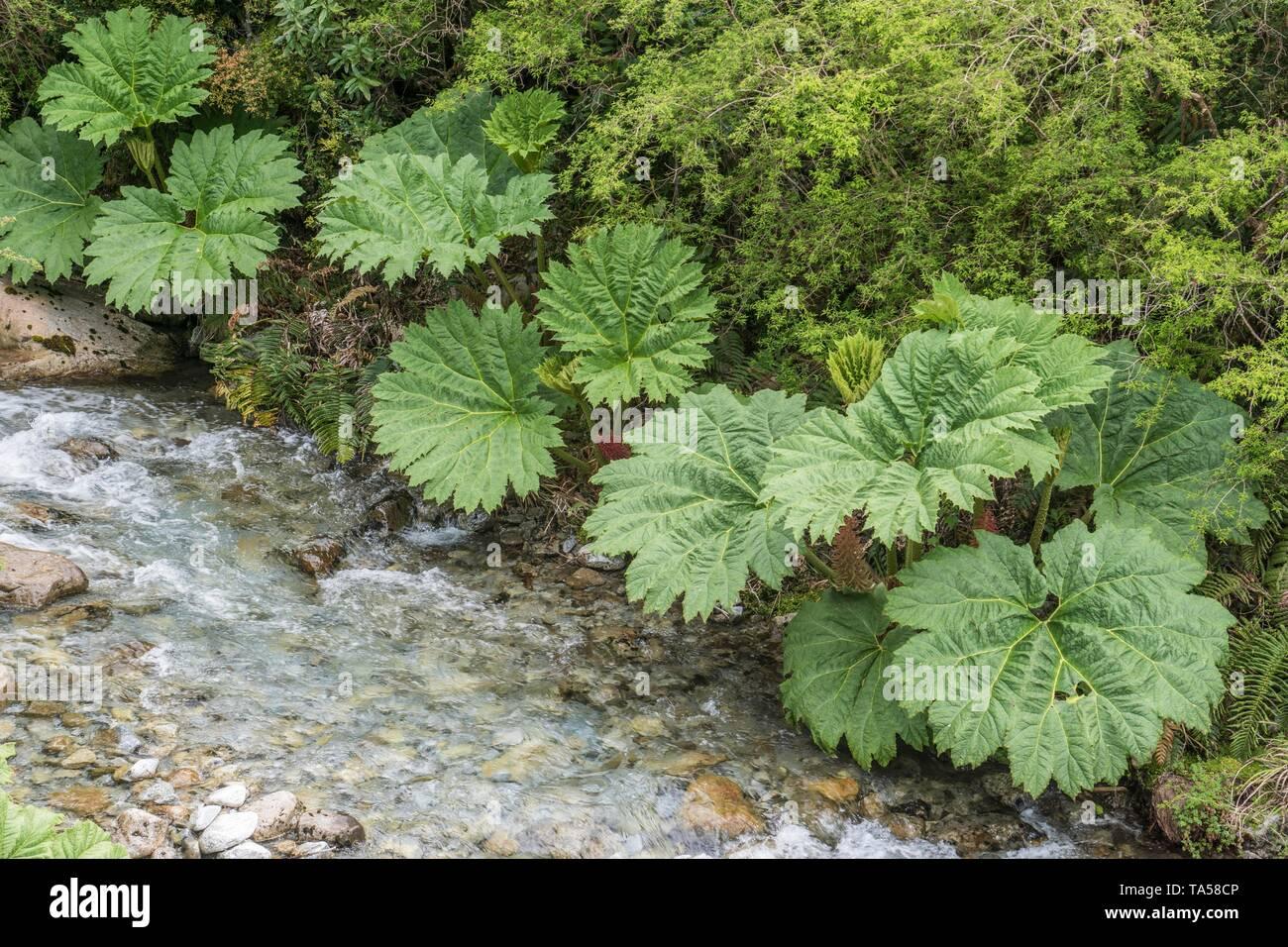 Pangue (Gunnera manicata) at the stream, Region de los Lagos, Patagonia, Chile Stock Photo