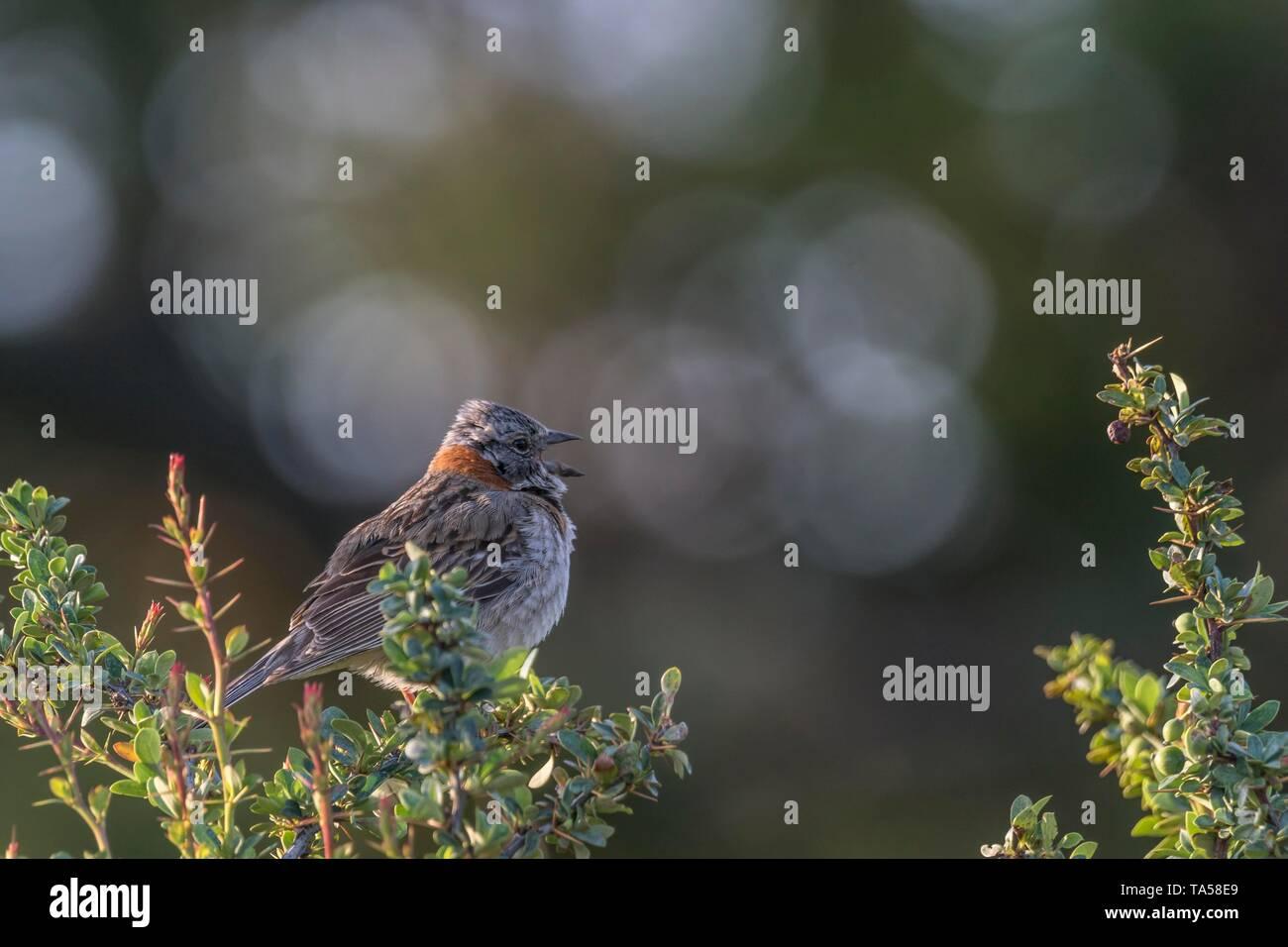 Calling Rufous-collared sparrow (Zonotrichia capensis), Torres del Paine National Park, Region de Magallanes, Patagonia, Chile Stock Photo