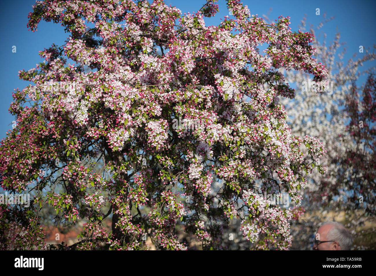 A big rosy blooming tree in a day light. Mid shot Stock Photo