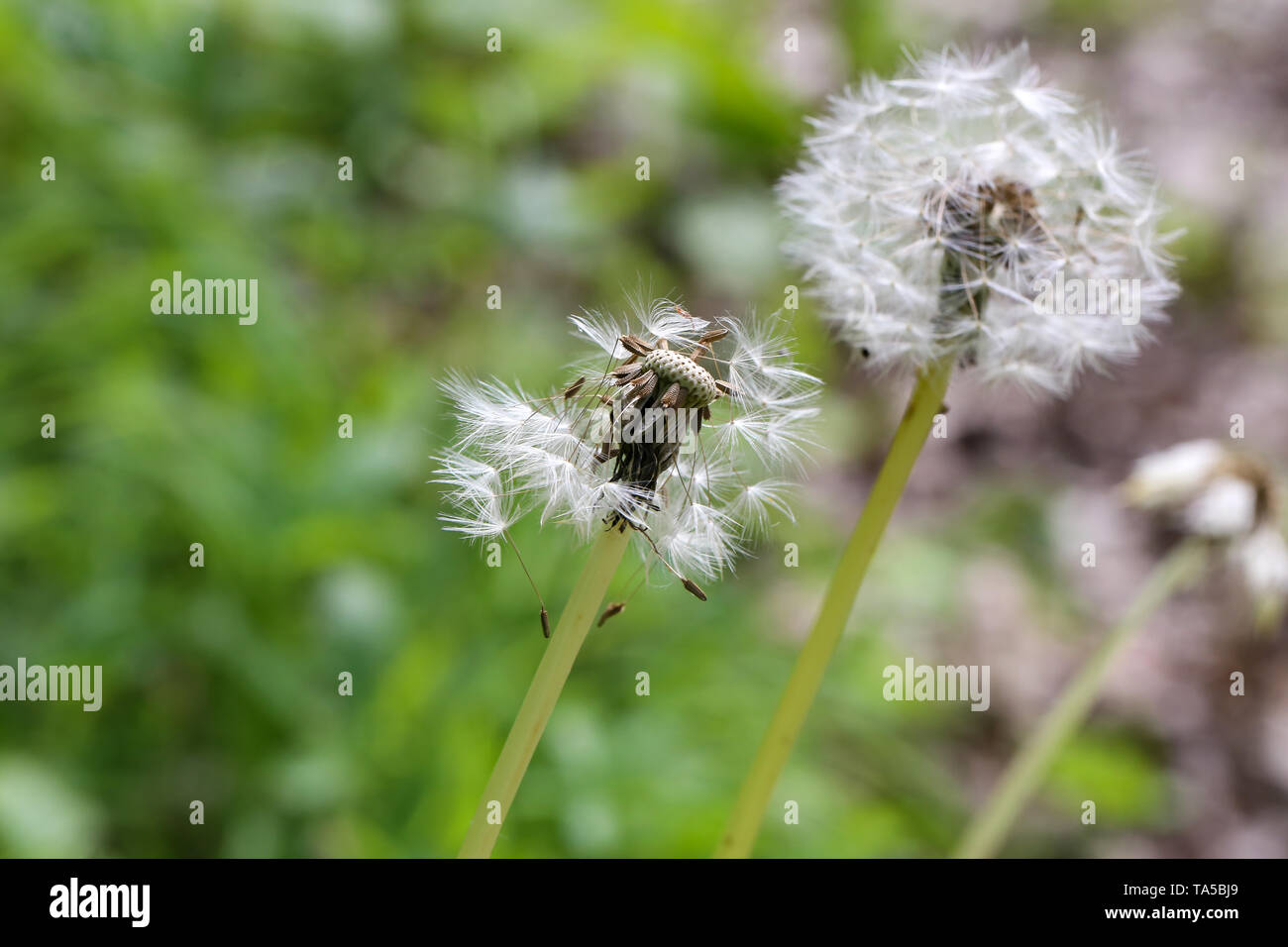 Bloomed dandelion in nature grows from green grass. Old dandelion closeup. Nature background of dandelions in the grass. Green nature background. - Stock Image