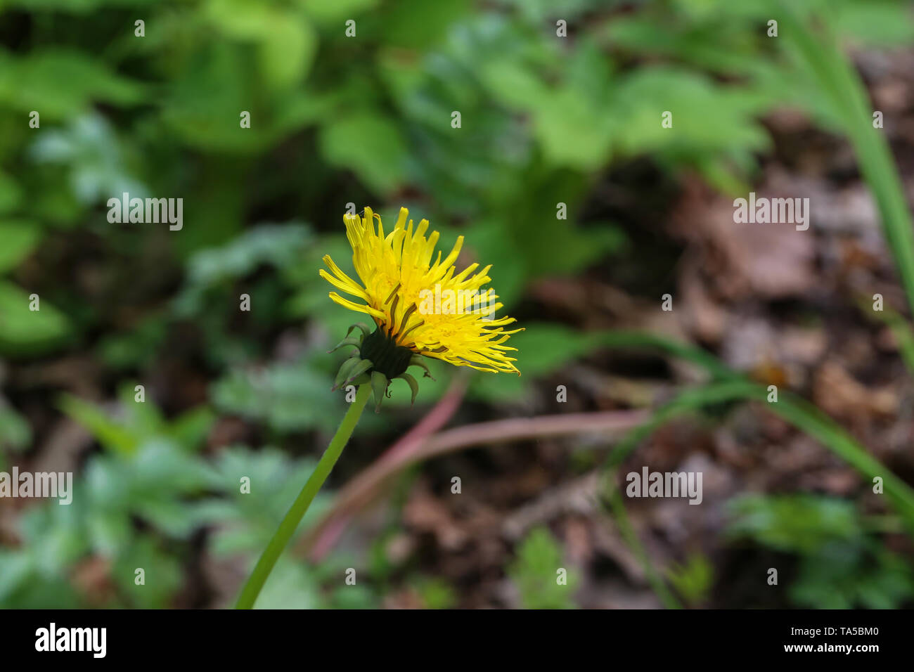 Bloomed dandelion in nature grows from green grass. Nature background of dandelions in the grass. Green nature background. - Stock Image