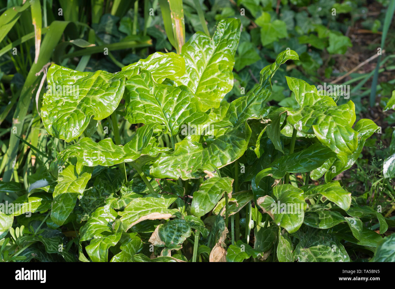Arum italicum (Italian Arum) plant growing in a park, showing very glossy shiny leaves in Spring (May) in West Sussex, England, UK. - Stock Image