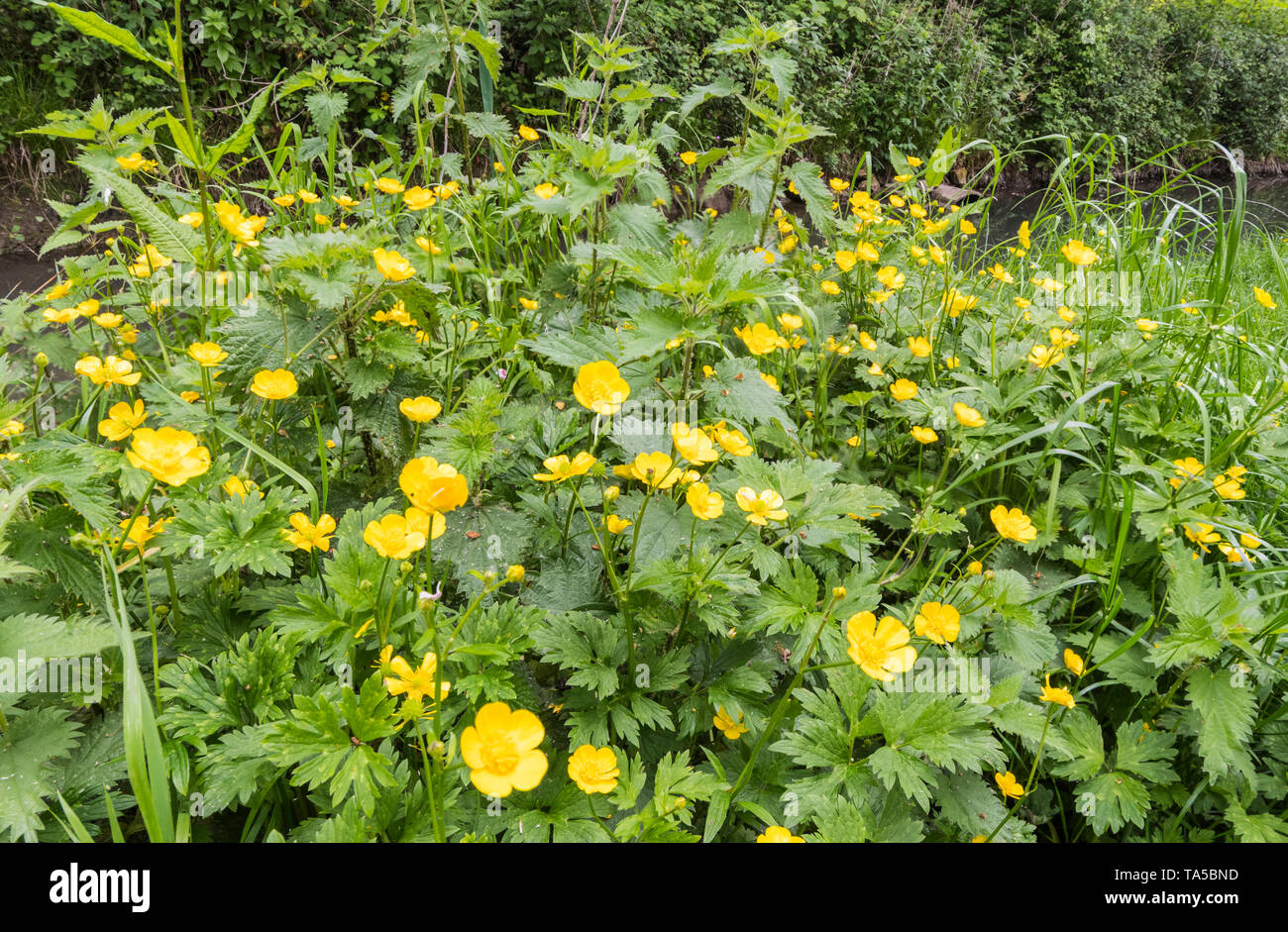 Ranunculus repens (Creeping buttercup, AKA Creeping crowfoot & Sitfast) in Spring in England, UK. Yellow Buttercups. - Stock Image