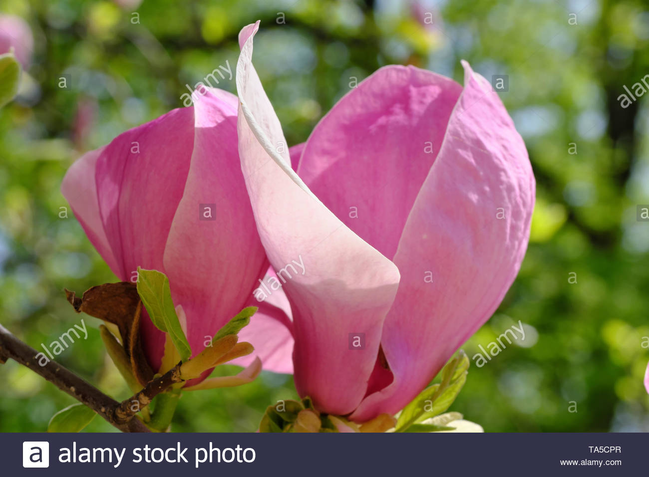 Magnolia blooms on a bright spring day in the botanical garden - Stock Image
