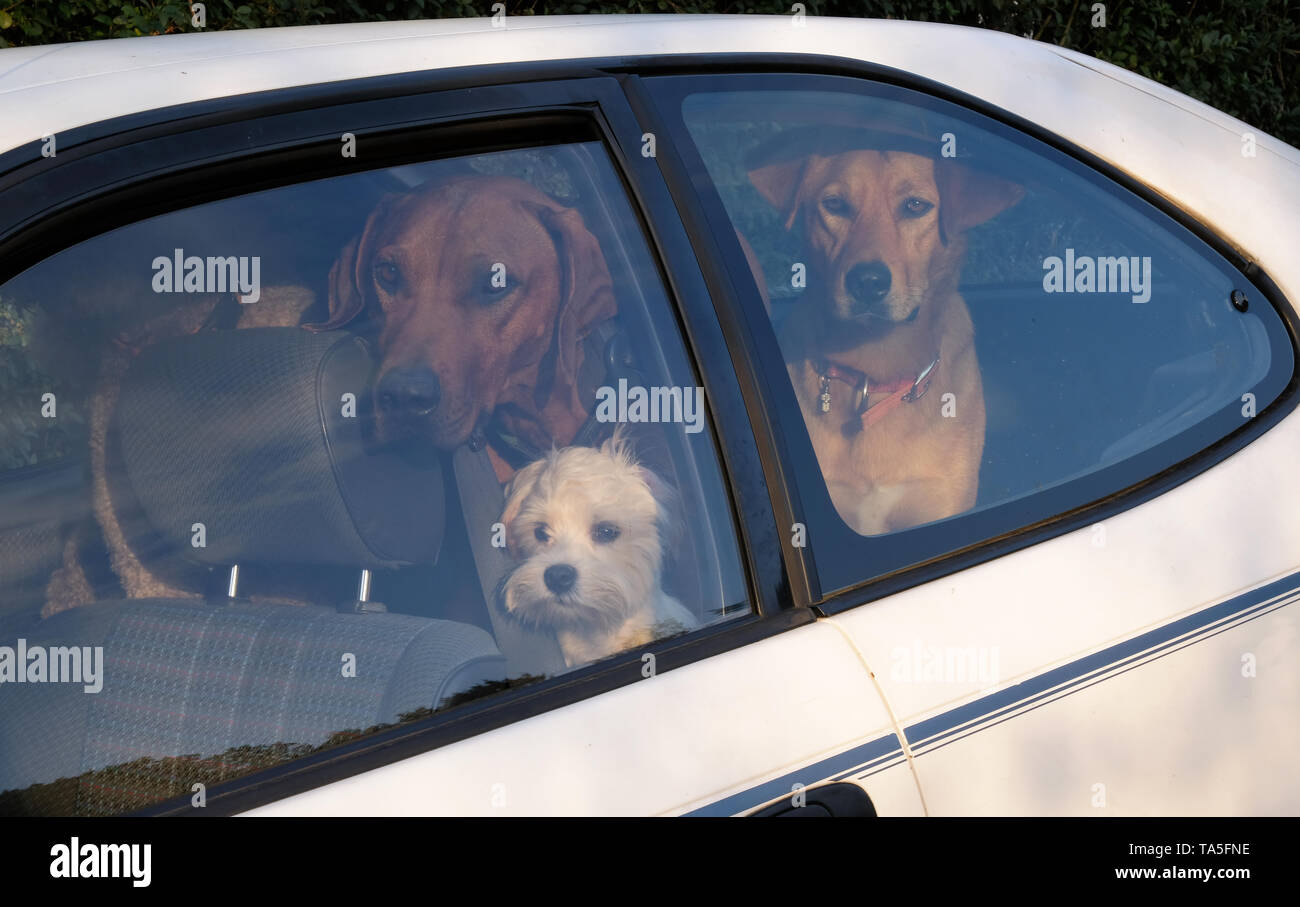 A dog can be your best friend. Three dogs inside a car - Stock Image