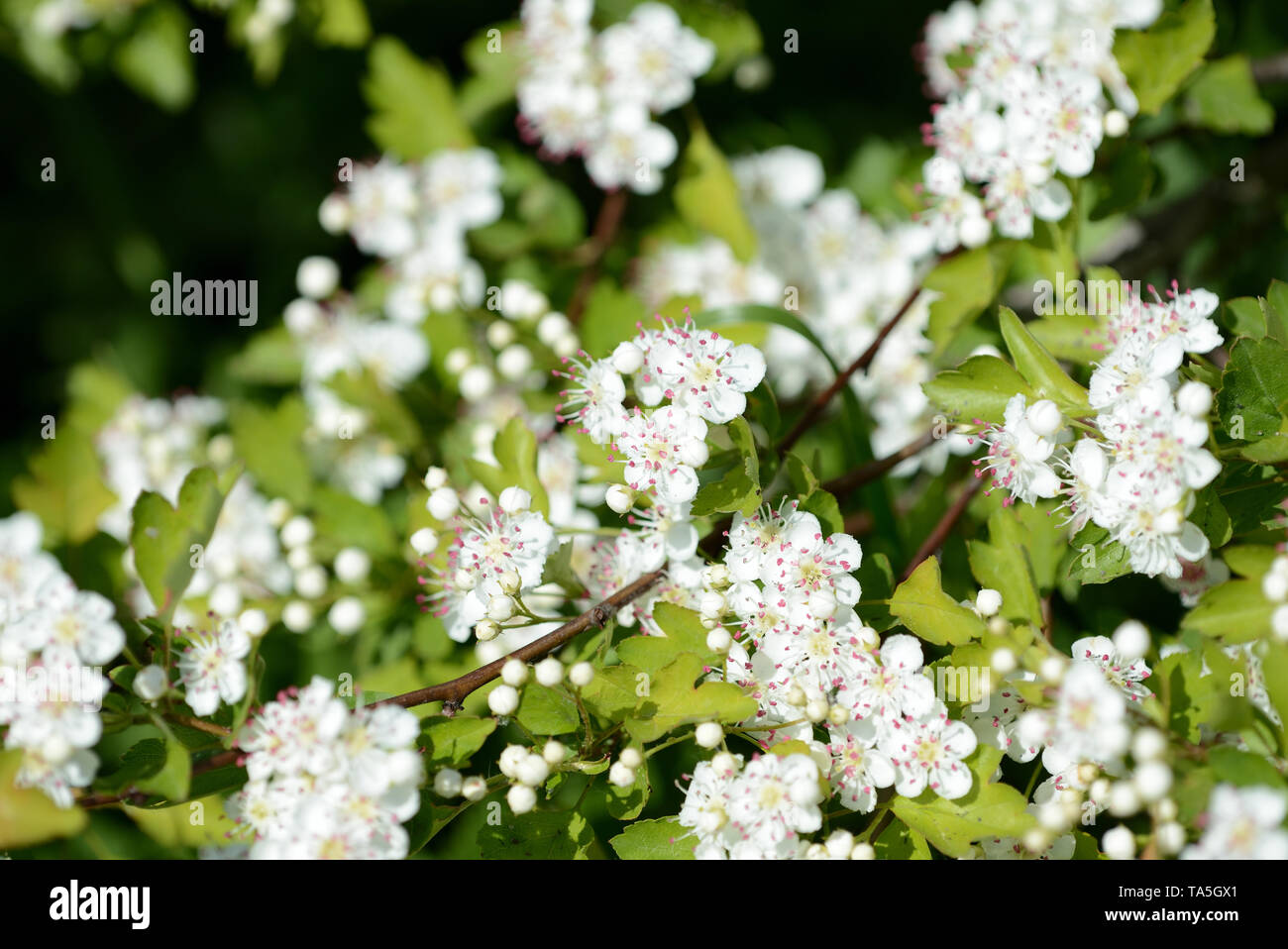 Beautiful white flowers of hawthorn on a sunny day close up - Stock Image