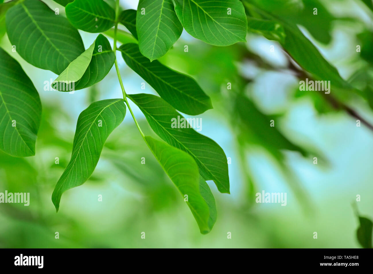 Walnut Leaves Isolated in garden - Stock Image