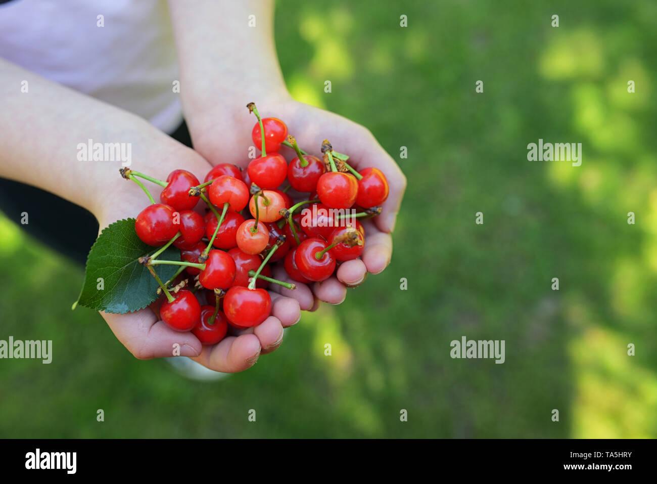 Handful of fresh cherries in summer garden - Stock Image