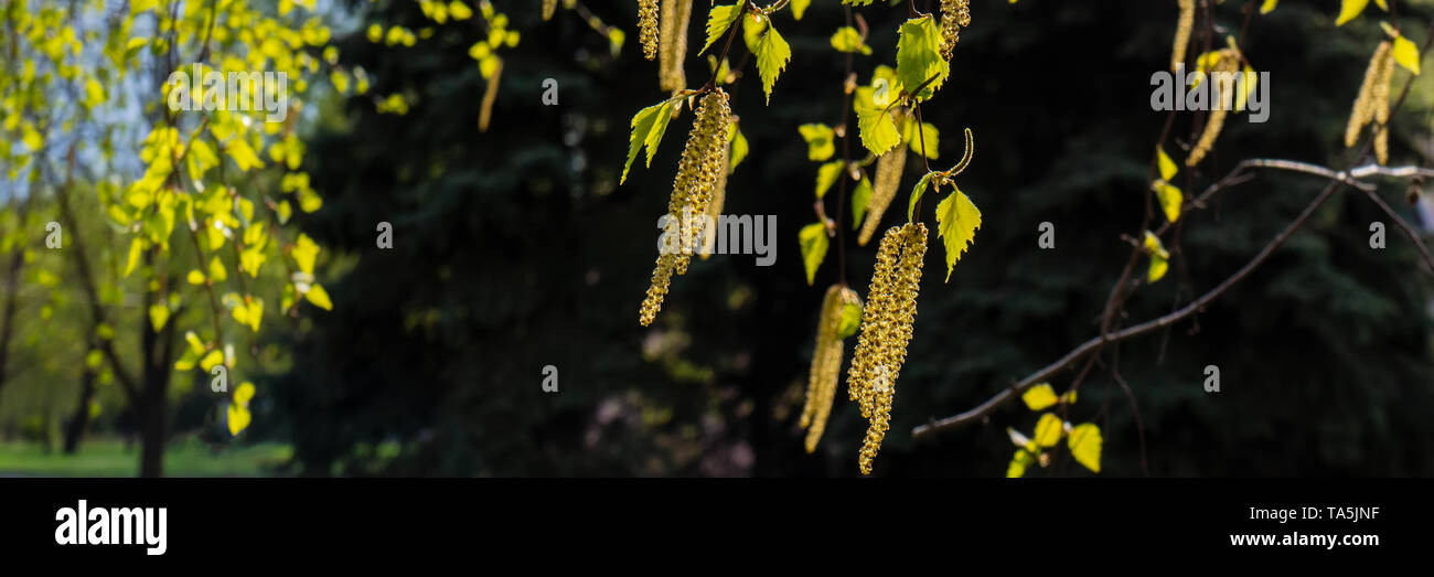 branches of flowering birch on a sunny day in the park. Web banner. - Stock Image