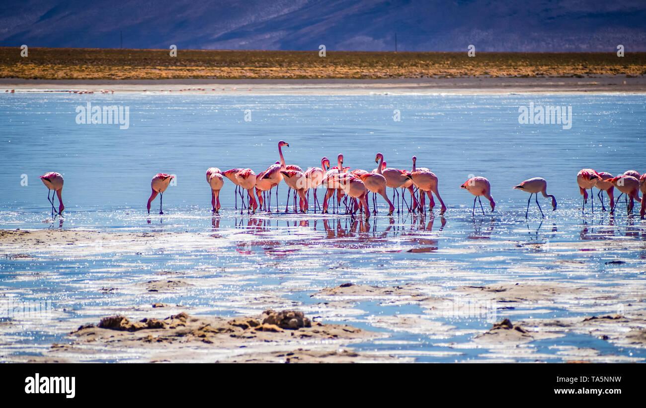 Flamingos in a lagoon of the Avaroa National Park, Bolivia. Salt lake - Stock Image