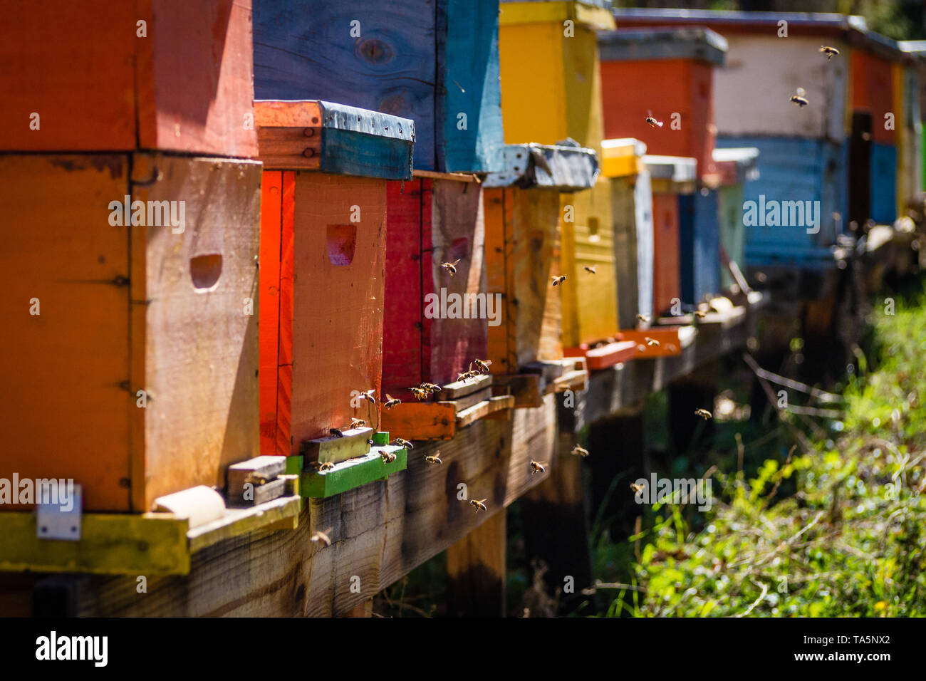 Bee hives of different colors on a sunny day - Stock Image