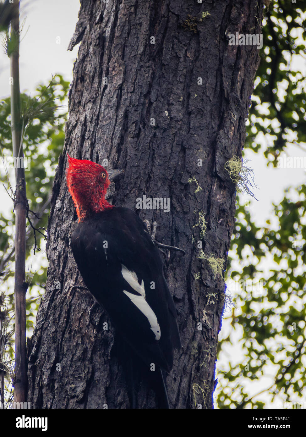 Patagonian giant woodpecker bird perched on the trunk of a tree in Chile - Stock Image