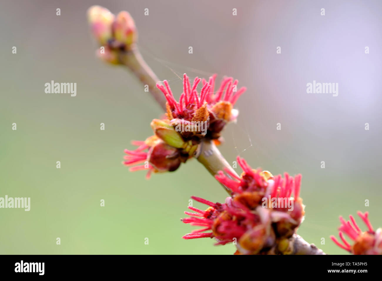 Female flowers of black alder deciduous trees of the birch family close-up macro photography - Stock Image