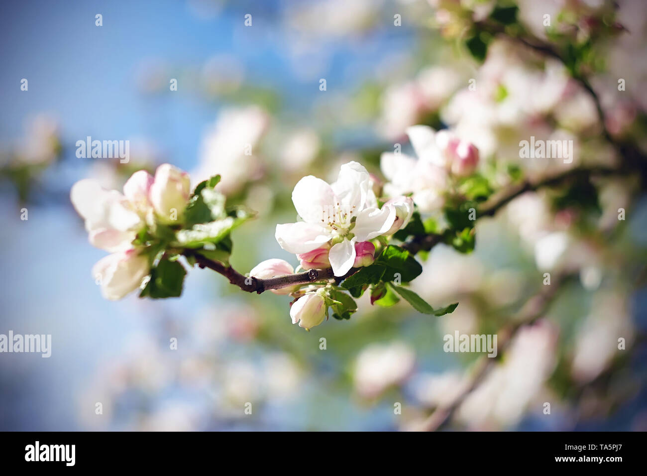 In spring, the branches of the Apple blossoming white and pink delicate beautiful flowers, illuminated by bright sunlight. - Stock Image
