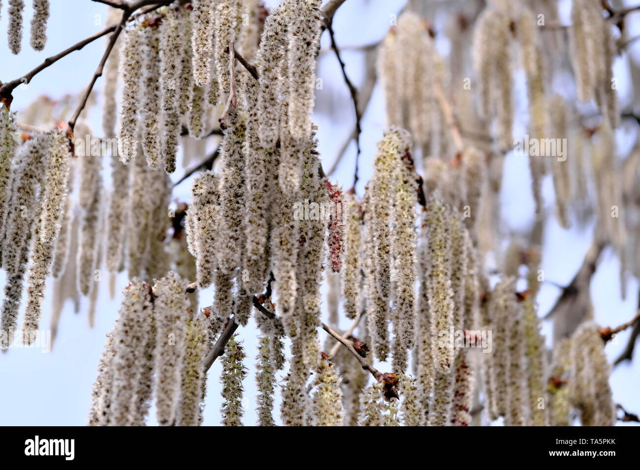 Male flowers of black alder deciduous trees of the birch family close-up macro photography - Stock Image