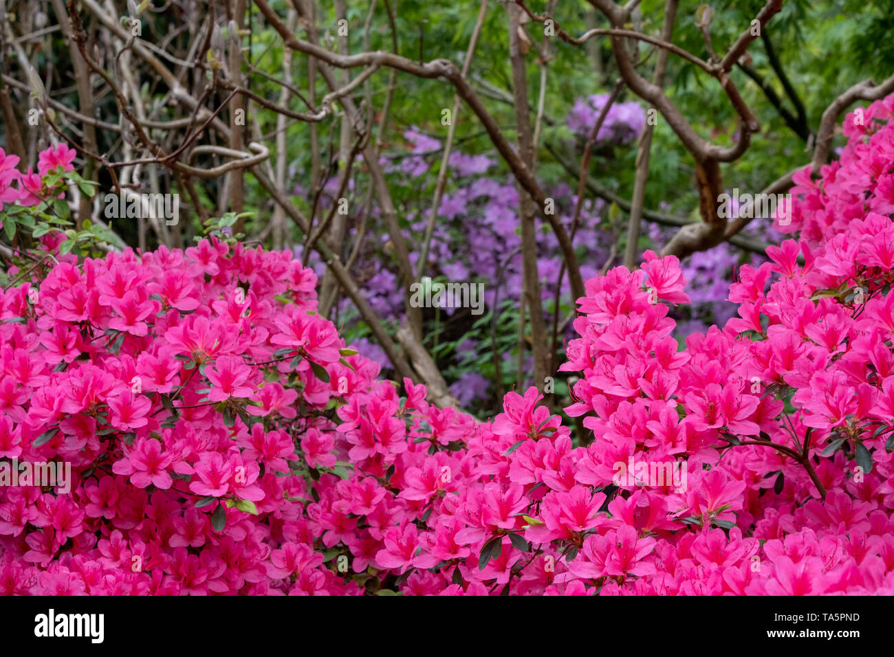 Bright pink azalea flowers in bloom in spring. Photographed in Surrey, UK. Stock Photo