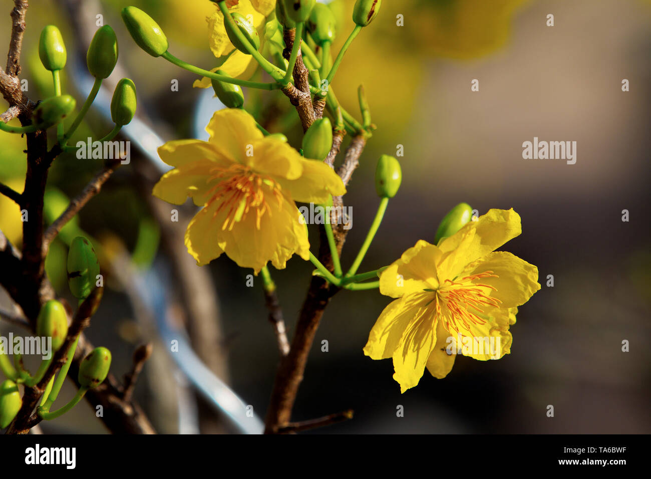 Nice apricot blossoms in focus - Stock Image