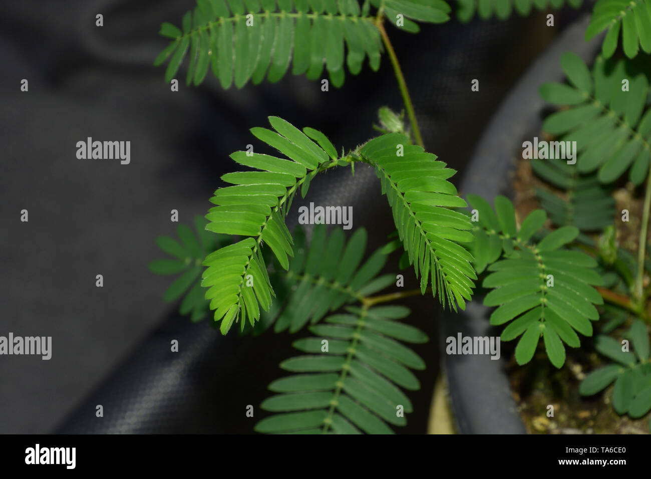 sensitive mimosa pudica or sleepy plant or dormilones or zombie plant with contact hairs that move when touched, touch me not plant macro shot Stock Photo