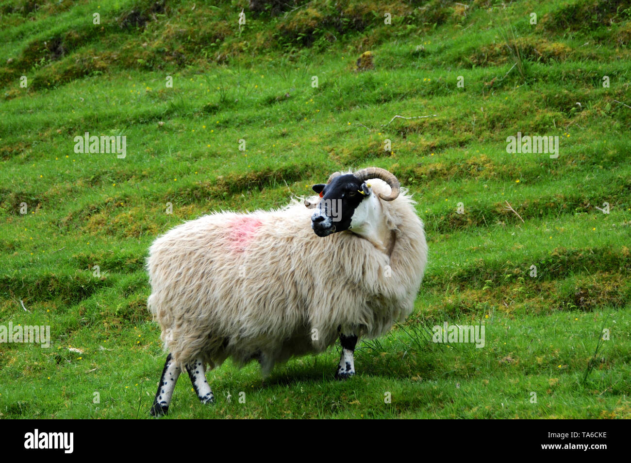 View of a typical scottish sheep in the middle of a green field on the Isle of Skye - Stock Image