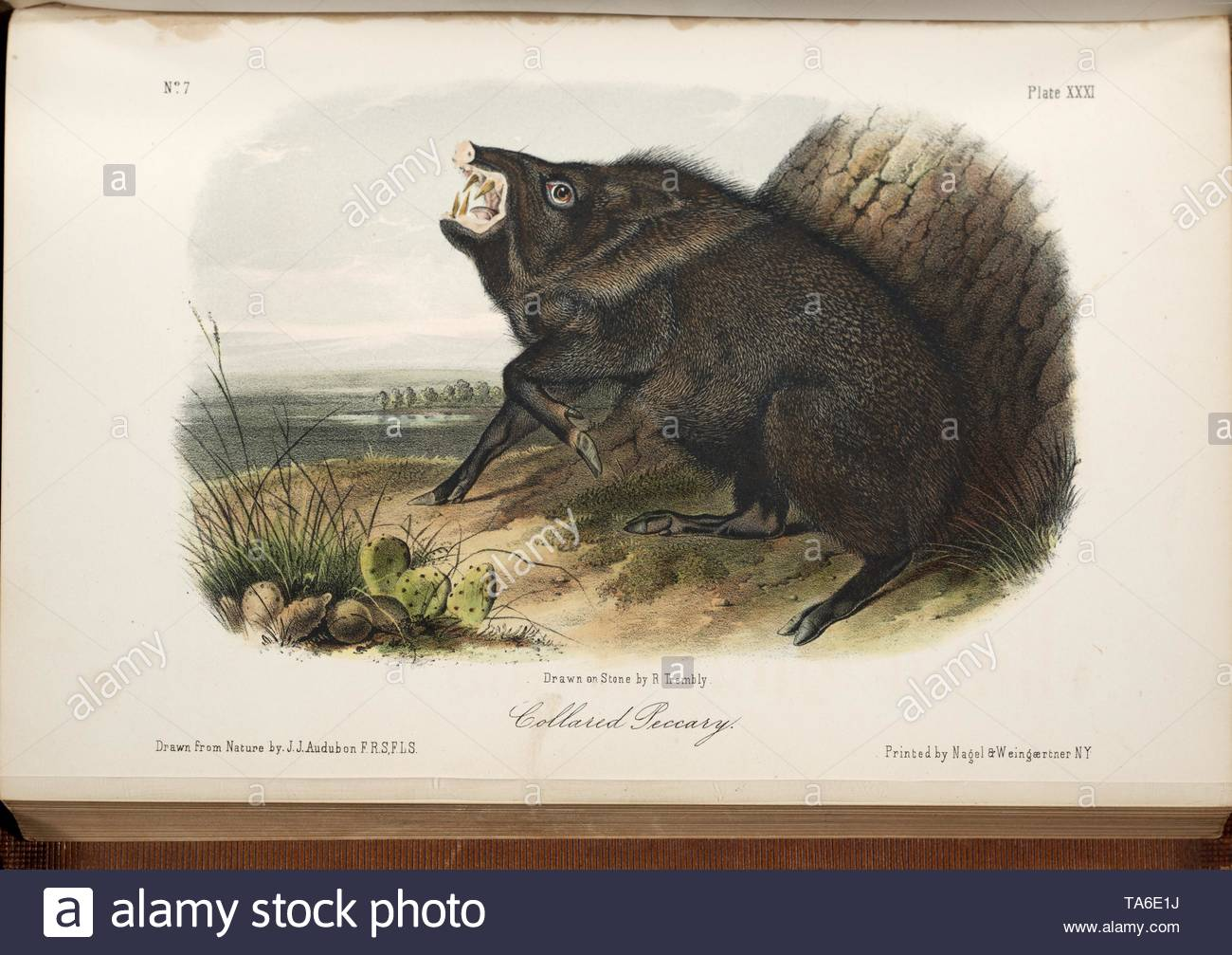 Audubon, John James-Collared Peccary from The quadrupeds of North America. - Stock Image