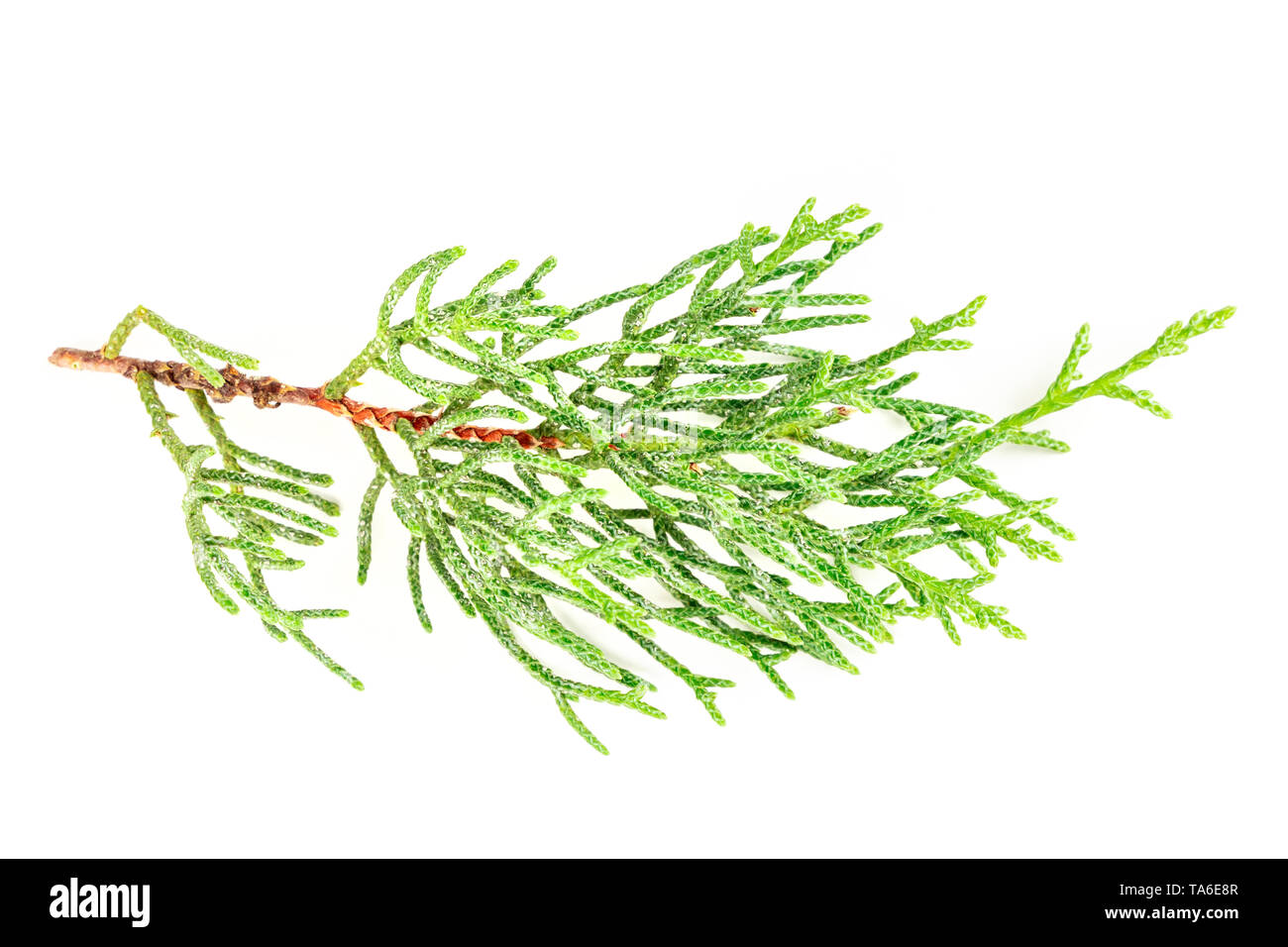 A photo of a green thuja branch on a white background - Stock Image