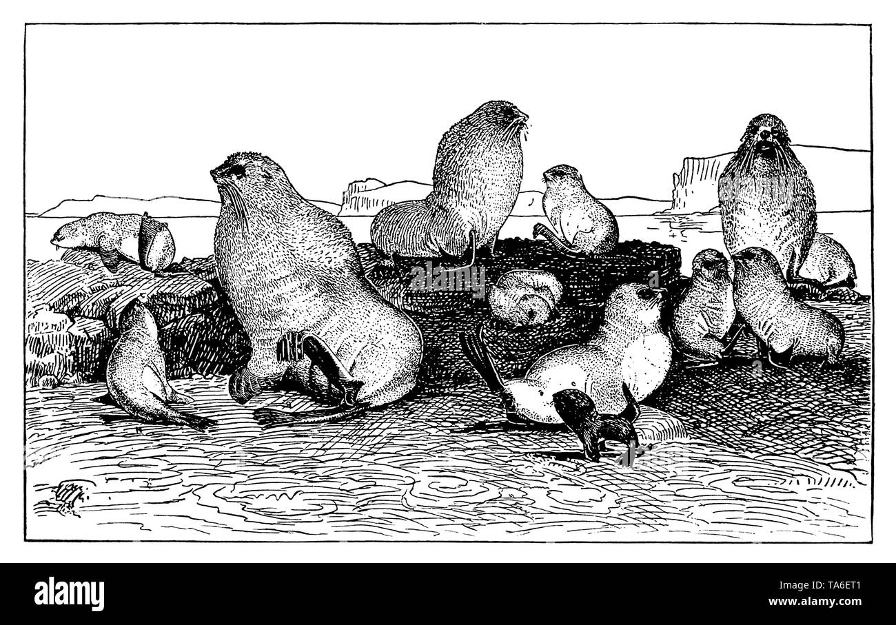 Seals of different ages on St. Lawrence Island in the Bering Sea. After Henry W. Elliott An arctic province, ,  (economy book, 1915) - Stock Image