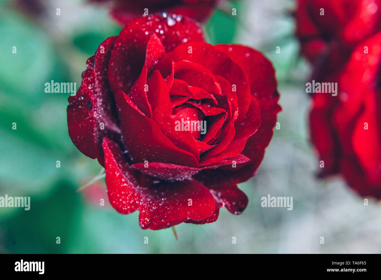 Beautiful red rose flowers with drops after rain in summer time. Background with flowering scarlet roses. Inspirational natural floral spring blooming - Stock Image