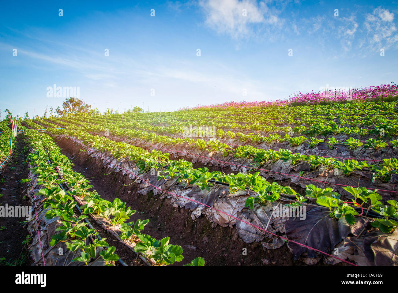 strawberry plant farm on hill / fresh strawberries field plantation growing landscape garden fruit in row on natural with leaves green agriculture mou - Stock Image
