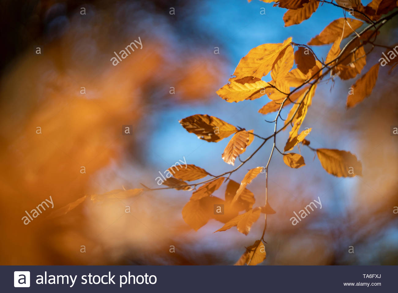 Beech leaves in autumn, photographed with a vintage lens - Stock Image