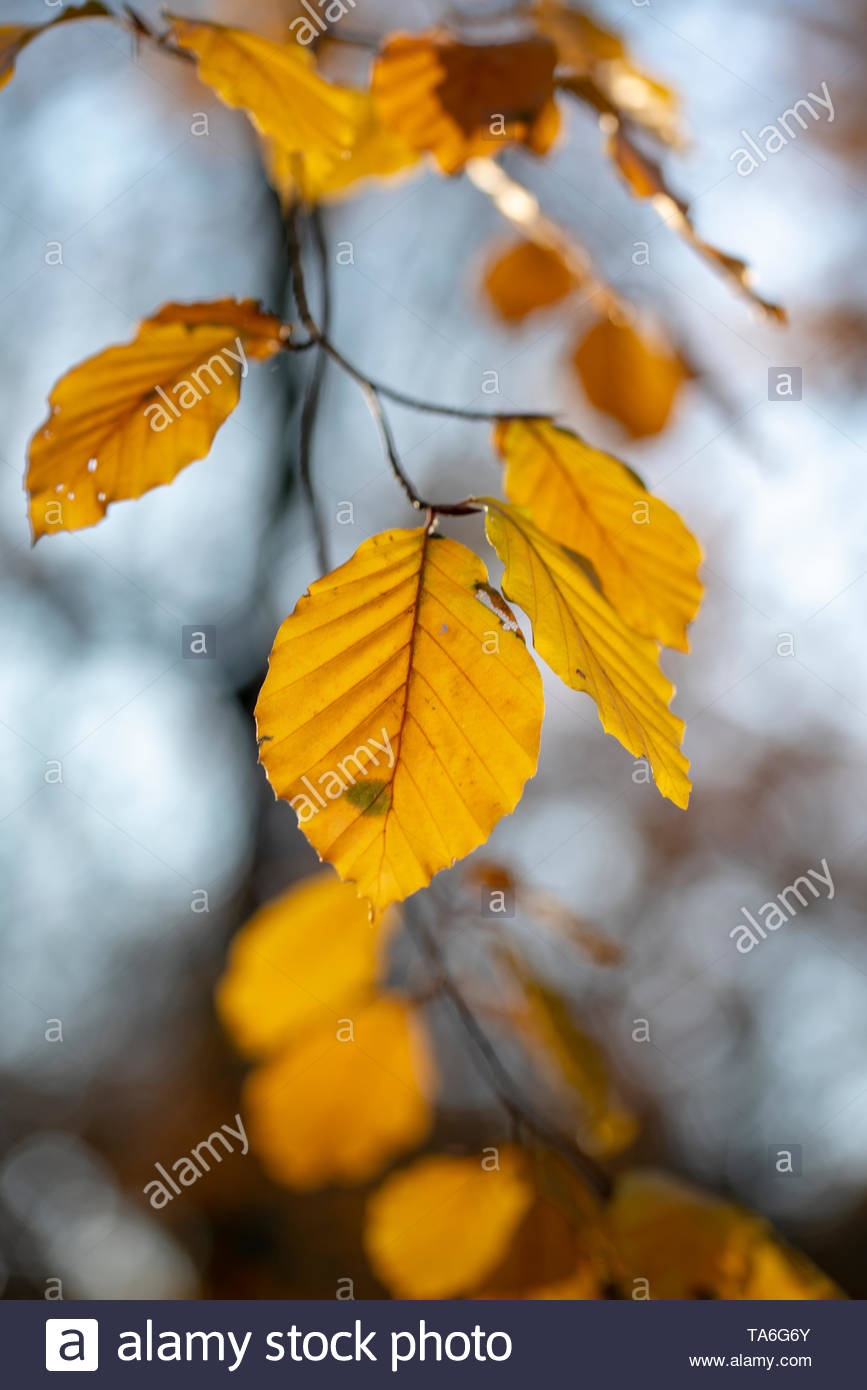 Beech leaves in autumn - Stock Image