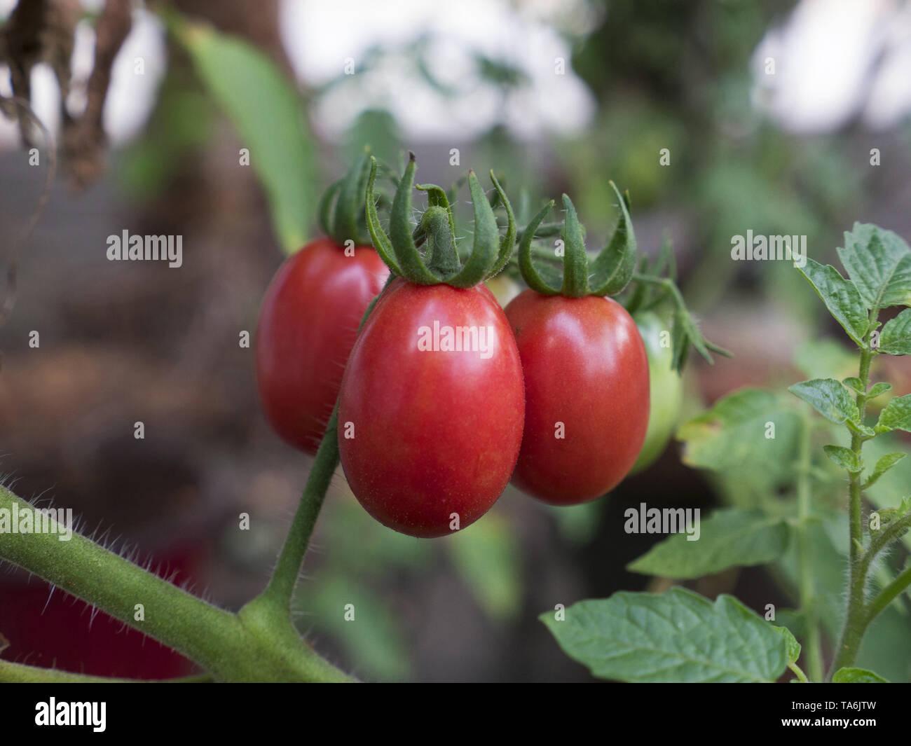 Tomatos - Stock Image