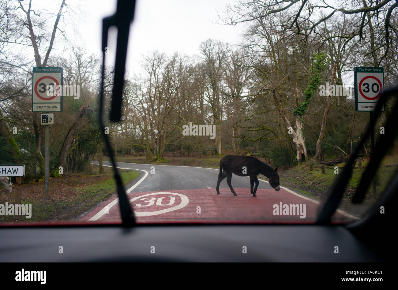 A donkey in the New Forest national park England walks across the road over a 30 MPH speed limit warning road markings seen from the POV of a driver. Stock Photo