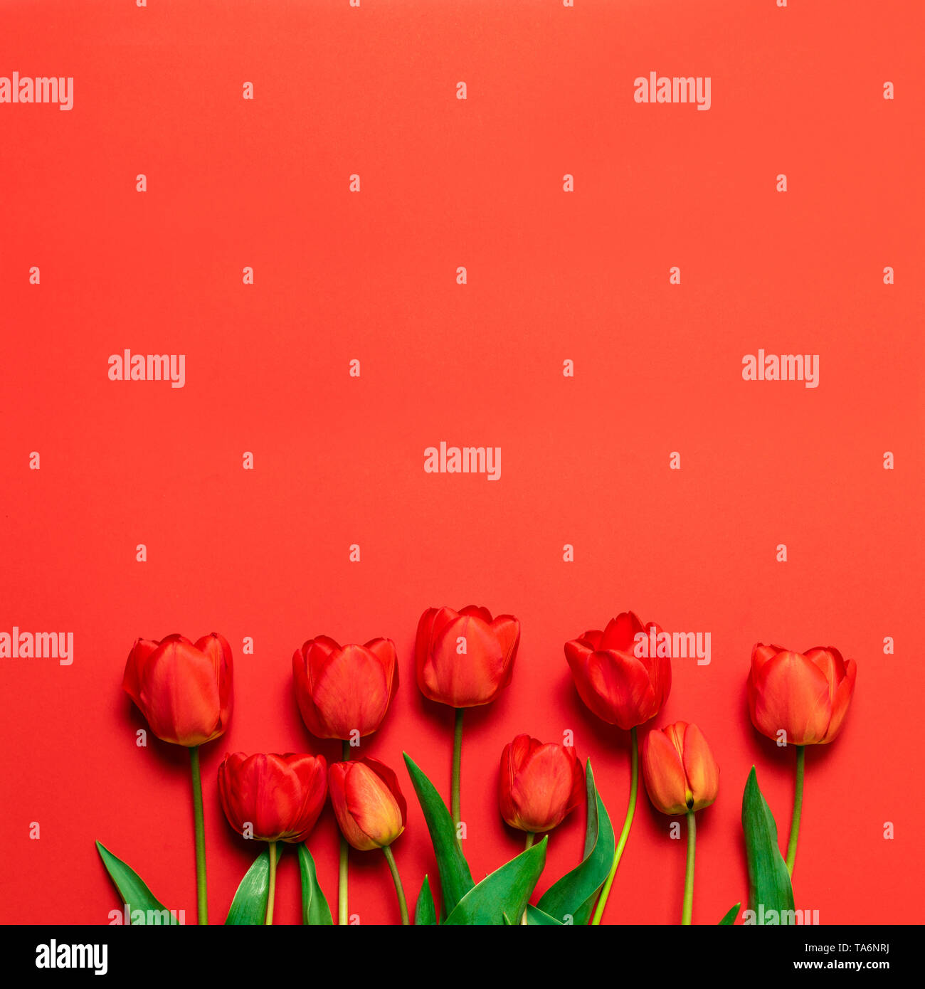 Spring background. Floral background Fresh bouquet of red tulips on a red substrate with a place for your text. - Stock Image