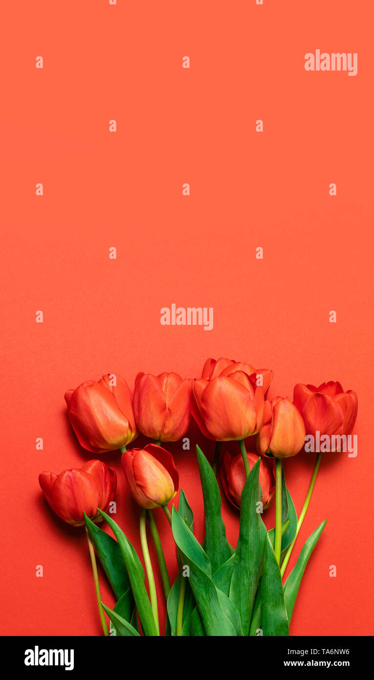 Fresh bouquet of red tulips on a red substrate with a place for your text. Good morning concept. - Stock Image