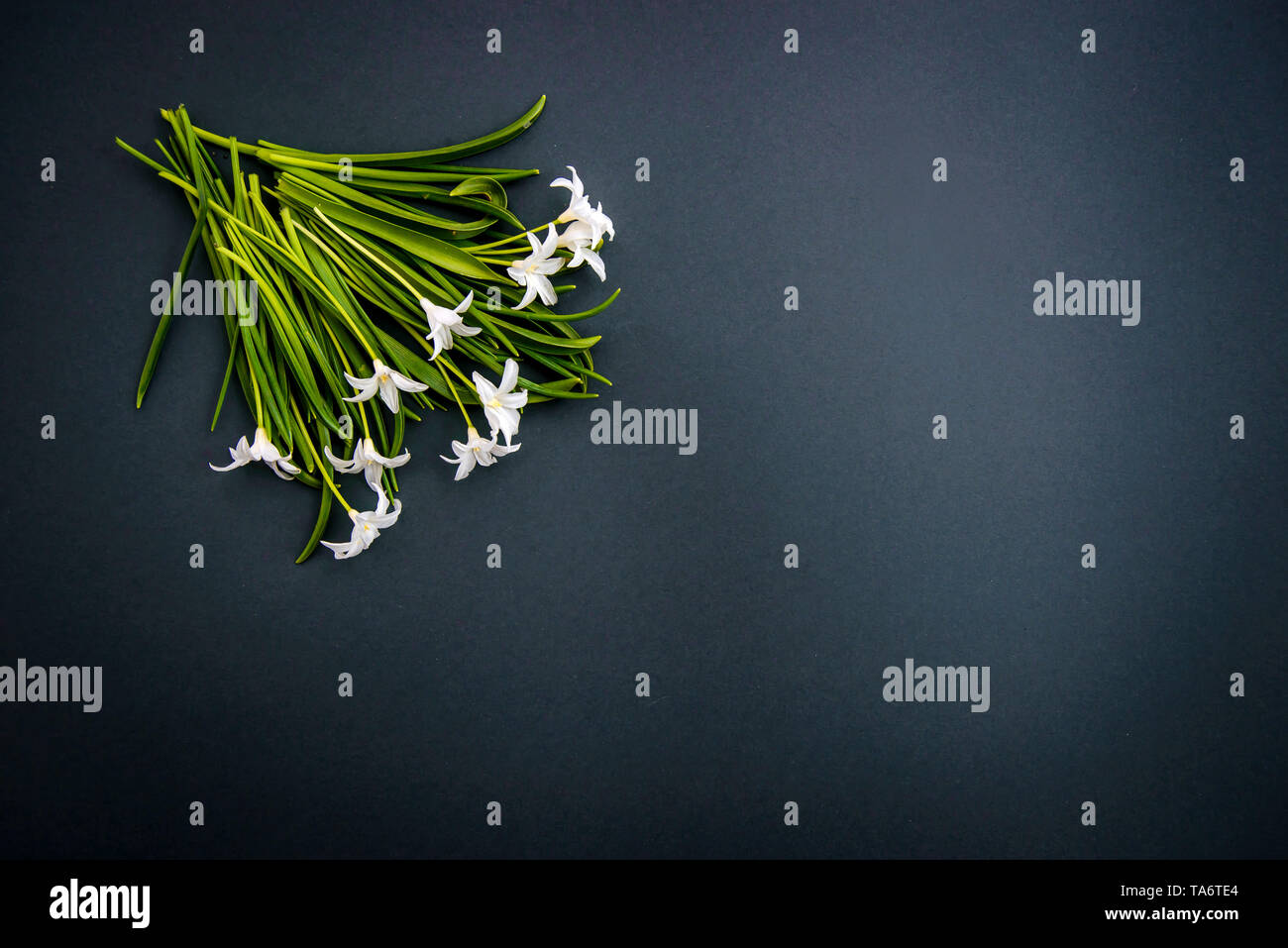 Small white spring flowers Chionodoxa on a dark green background with copy space - Stock Image