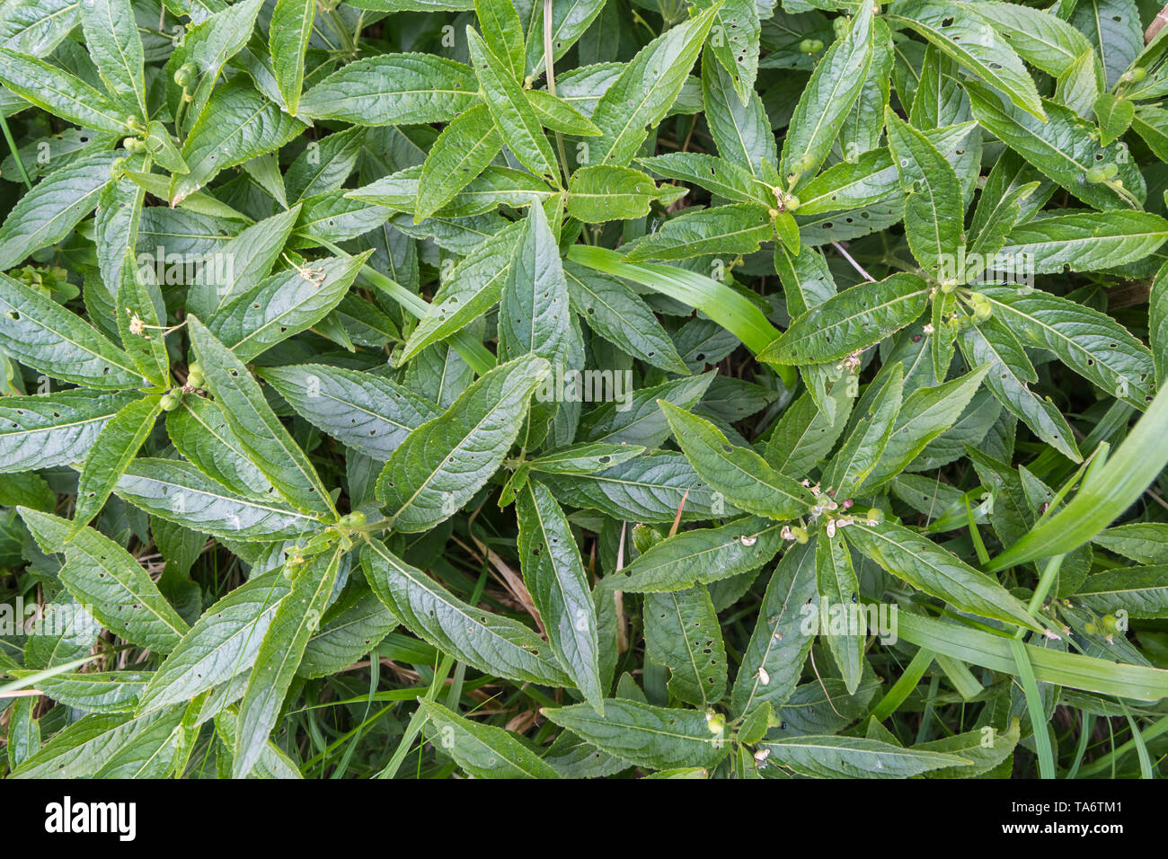 Mercurialis perennis (Dog's Mercury), a poisonous woodland plant in ancient woodland in Spring (May) in West Sussex, England, UK. - Stock Image