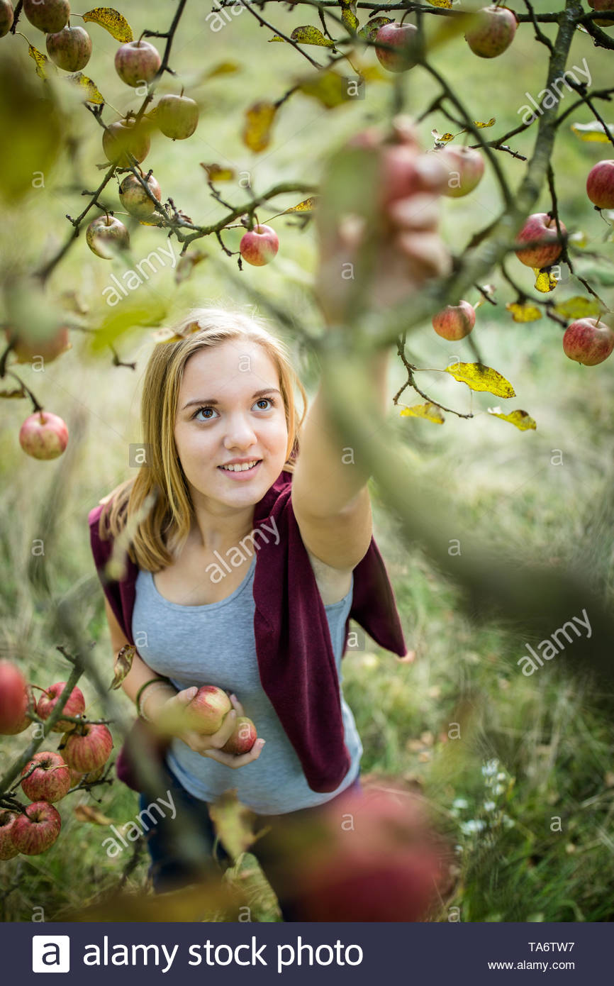 Cute girl picking apples in an orchard having fun harvesting the ripe fruits of her family's labour (color toned image) - Stock Image